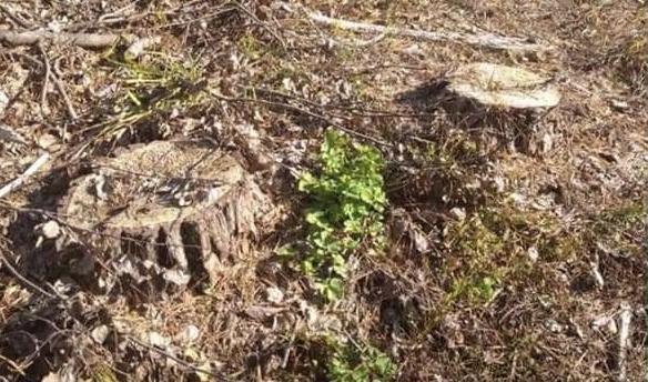 На Рівненщині незаконно вирубали 120 дерев